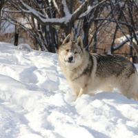 Чешский волчак в Алматы